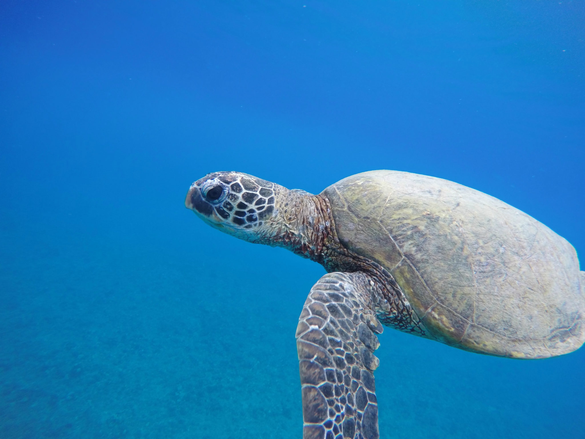 Swim with Turtles on Oahu